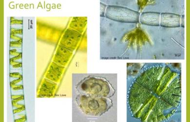 algen-soorten
